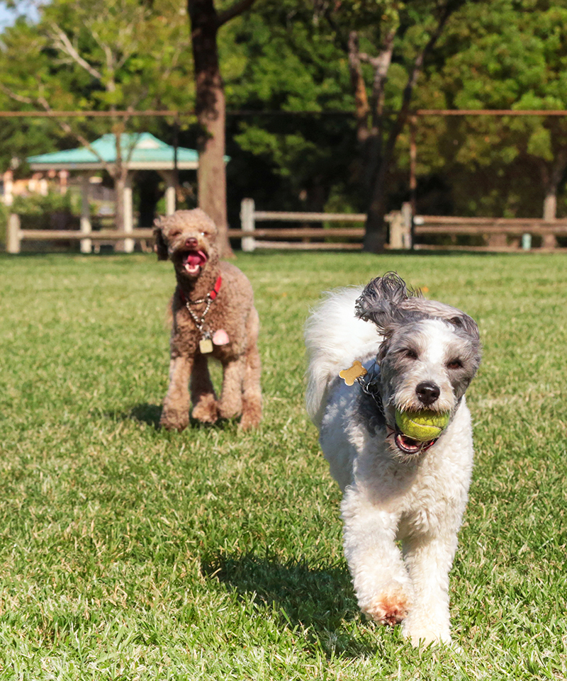 dogs-in-park-crop-web